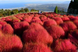 日本 5 大掃帚草熱點!入秋必睇紅色波波球
