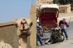 動保團體揭埃及馬匹駱駝長期被虐 烈日當空缺水缺