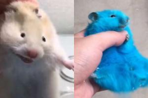 日本YouTuber上載虐待倉鼠影片 強行將毛色染藍惹2萬網民聲討