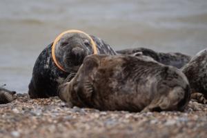 英國海豹頸纏塑膠玩具飛碟 動保團體呼籲勿在沙灘留垃圾