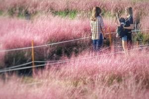 4個首爾地鐵可達粉紅芒草景點 秋天必睇粉紅芒草!