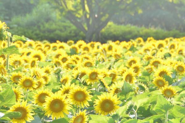 東京也有3個 日本10個絢麗向日葵花海附賞花期 U Travel 旅遊資訊網站