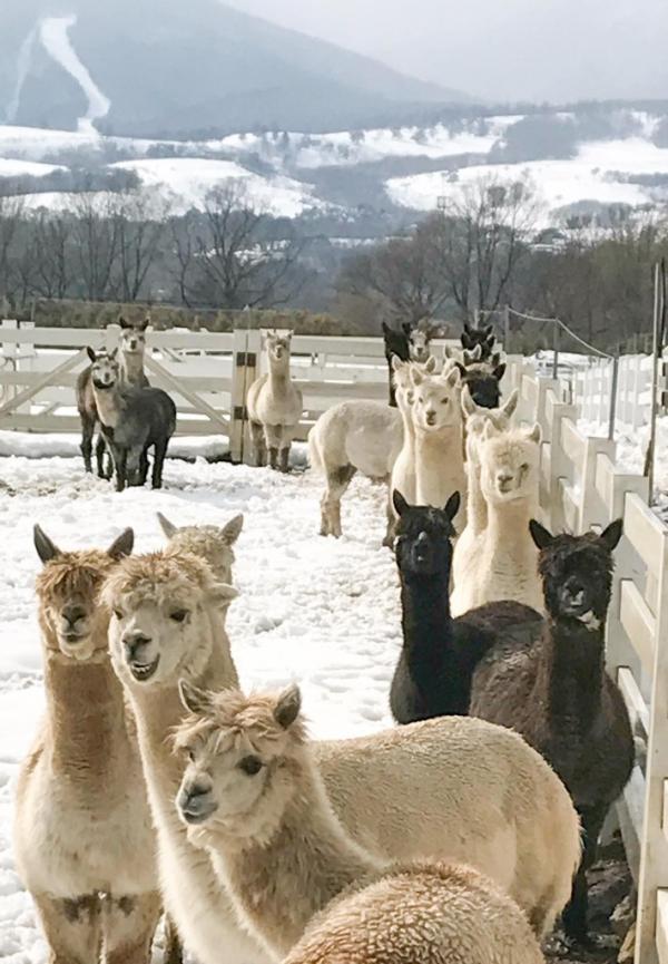 夏日親親草泥馬 日本東京近郊羊駝牧場 11