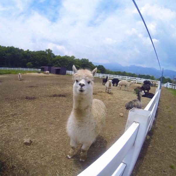 夏日親親草泥馬 日本東京近郊羊駝牧場 6