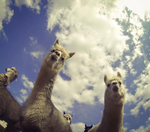 夏日親親草泥馬 日本東京近郊羊駝牧場 7