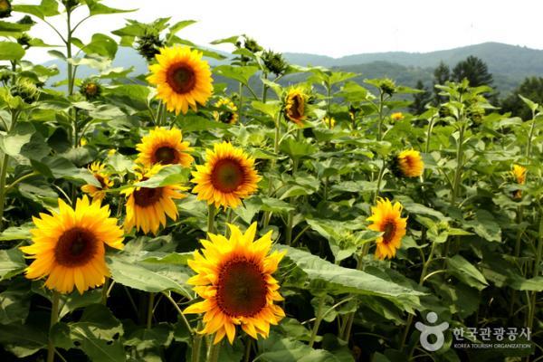 韓國最大向日葵花海! 江原道100萬朵向日葵慶典 1