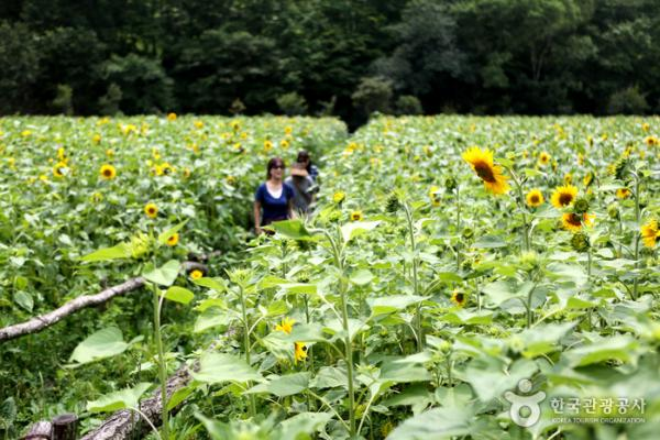韓國最大向日葵花海! 江原道100萬朵向日葵慶典 5