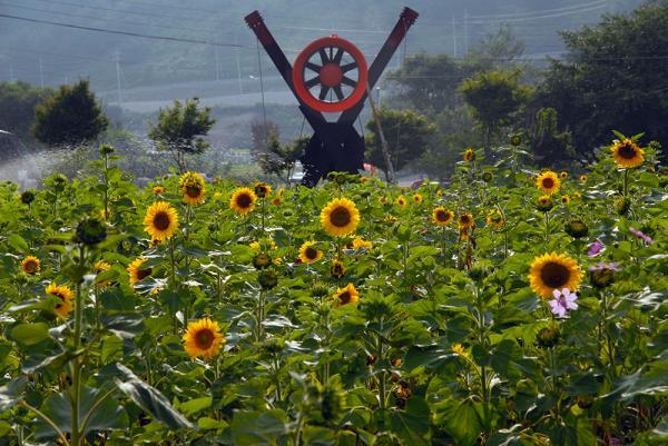 韓國最大向日葵花海! 江原道100萬朵向日葵慶典 6