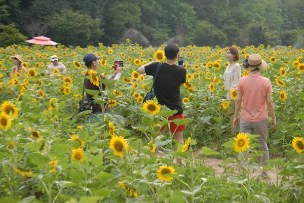 韓國最大向日葵花海! 江原道100萬朵向日葵慶典 7