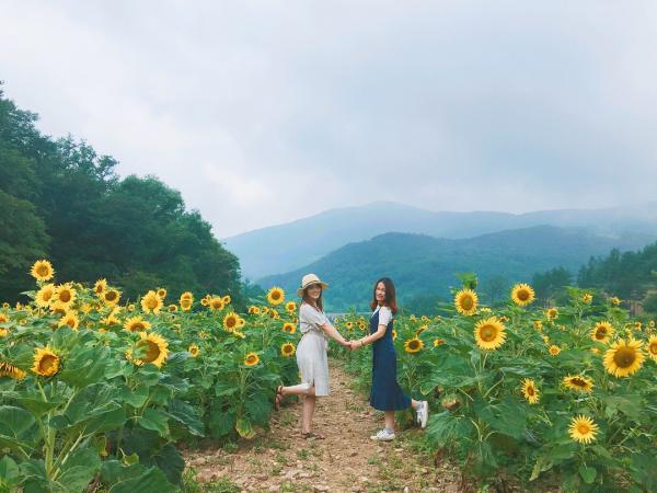 韓國最大向日葵花海! 江原道100萬朵向日葵慶典 8