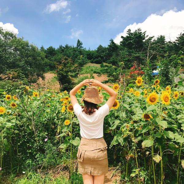 韓國最大向日葵花海! 江原道100萬朵向日葵慶典 10