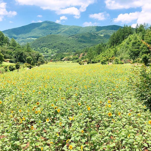 韓國最大向日葵花海! 江原道100萬朵向日葵慶典 4
