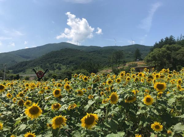 韓國最大向日葵花海! 江原道100萬朵向日葵慶典 2