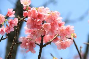 一月沖繩賞櫻之旅