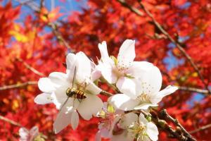 [愛知]同時賞楓賞櫻的私房景點