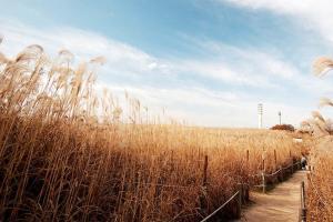首爾的芒草慶典——天空公園
