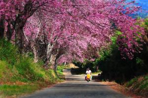 泰國清邁追櫻之旅
