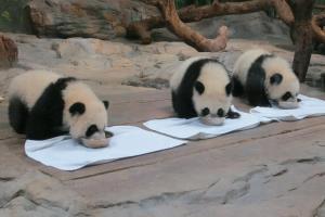 探訪萌熊貓!廣州長隆一天遊 (含小貼士)