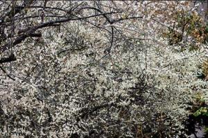 不輸給櫻花的台北市區梅花